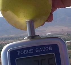 Penetrómetro determinando la firmeza de una manzana con su puntal más grande (11 mm).