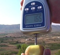 Penetrómetro determinando la firmeza de una patata con el puntal de 8 mm.